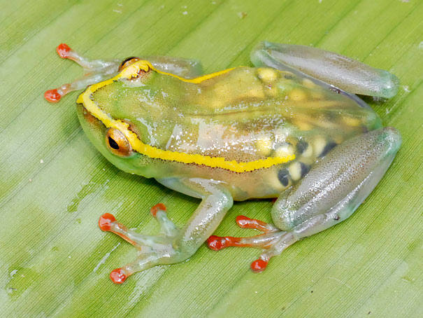 7. Прозрачная лягушка (Hyperolius Leucotaenius).
