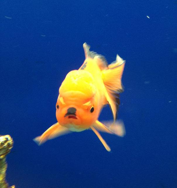 5. Рыбка-фюрер.